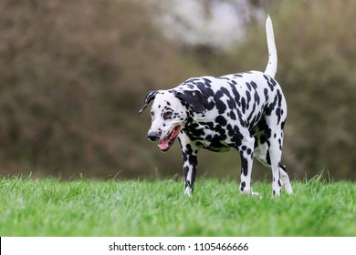 picture of a Dalmatian dog who walks on a meadow