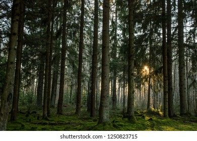 A picture of a deep Scandinavian forest with a sun flare in the background