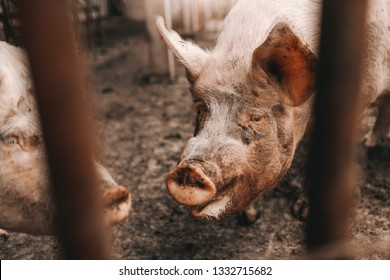 Picture of dirty pig standing in mud in cote. Pigs breeding concept.