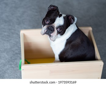 A picture of a dog sitting in the cart, Cute dog photo, Black and white dog picture of Boston terrier, Doggy pic, Boston terrier image, Picture of doggie, Dog stock image, Boston terrier photos
