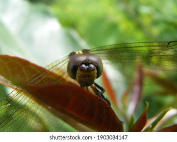 A picture of the dragonfly head from the front