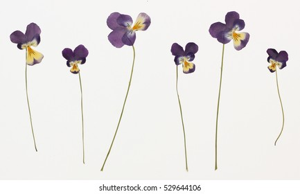 Picture of dried flowers in several variants Herbarium from dried blossoming flower arranged in a row. Viola tricolor, pansy, heartsease, tickle-my-fancy, three faces in a hood