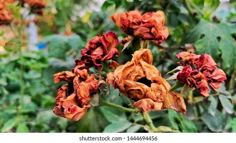 Picture of dried roses clicked by Kirat Naura.                           Location: SBS Nagar , Punjab , India