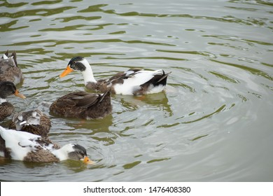 Picture of Duck is the common name for a large number of species in the waterfowl family Anatidae which also includes swans and geese,  swimming in a pond