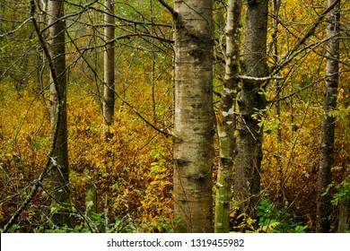 a picture of an exterior Pacific Northwest forest with Quacking aspen trees