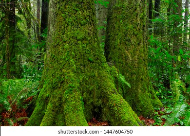 a picture of an exterior  Pacific Northwest forest with Western hemlock trees