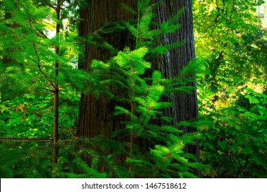 a picture of an exterior Pacific Northwest forest with a young Western hemlock tree
