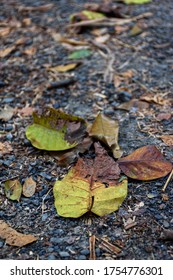 Picture of fallen leaves with blurred background in autumn at Acharya Jagadish Chandra Bose Indian Botanic Garden of Shibpur, Howrah near Kolkata (Selective focus)