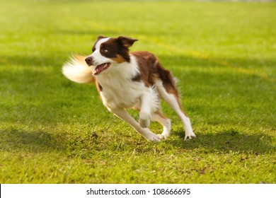 A picture of a fast border collie running on the green grass