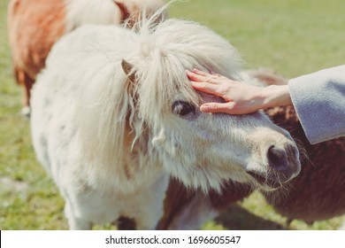 Picture of female hand petting white pony's head