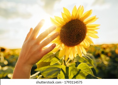 Picture of female's hand touching sunflower. In middle of field during harvest time. Early morning or evening. Cover sun in sky. Tender picture