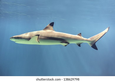 Picture of a floating shark in ocean