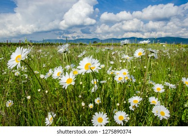 Picture of a flower meadow in summer with bright beautiful daisies under a blue sky with sun to relax and meditate