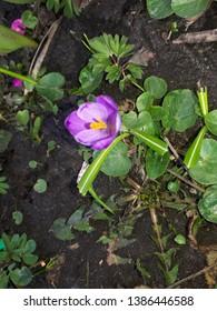 Picture of flowers Crocus vernus in bloom. Spring Crocus. Flowers Image. Photos with Flowers of Crocus vernus Violet crocuses.