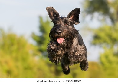 picture of a flying black standard schnauzer dog