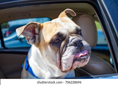 Picture of a french bulldog sitting in the car