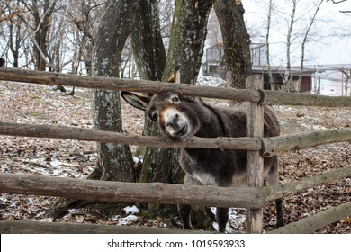 Picture of funny donkey in a zoo, trying to stick its head out through the fence. Winter afternoon.