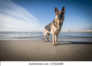 Picture of a German Shepherd standing in front of the sea.