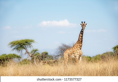 Picture of a giraffe in Ruaha national park, Tanzania.