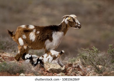 Picture if a goat with their baby, taken on a volcano in Fuerteventura.