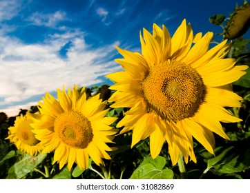 A picture of gold sunflowers  on a background of the blue sky