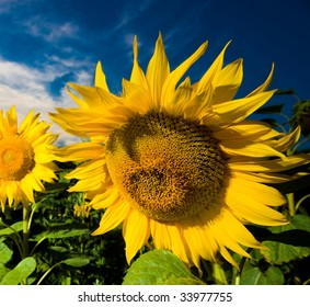 A picture of a gold sunflowers  on a background of the evening dark blue sky