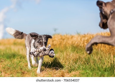 picture of a Great Dane puppy and an Australian Shepherd who are playing on a country path