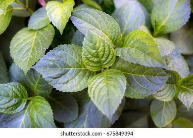 Picture of a green leaves from high angle. Horizontal composition