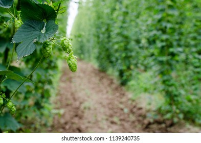 Picture of hops