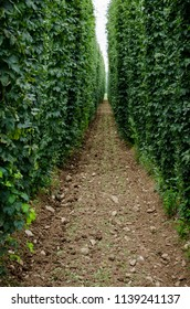 Picture of hops field