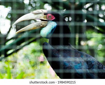 Picture of Hornbill birdor Buceros on a zoo. This bird has a big beak that shaped like a cow horn. In Indonesia, this bird usually called Enggang or Rangkong