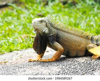 Picture of Iguana a kind of reptile on a zoo. Iguana is a genus of herbivorous lizards that are native to tropical areas of Mexico, Central America, South America, and the Caribbean