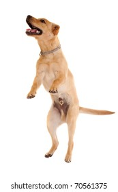 picture of a jumping labrador retriever on white background