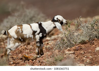 Picture of a kid, baby goat, on a volcano in Fuerteventura.