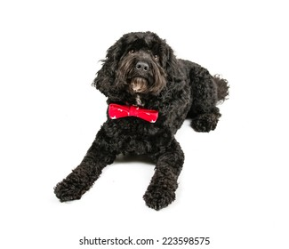Picture of a Laying Black Cockapoo on a white background.