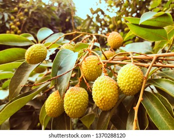 picture of litchi
