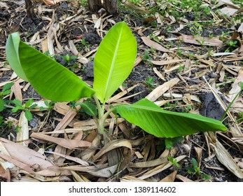 A picture of lovely tiny banana tree with three big leaves and a small one in the banana garden