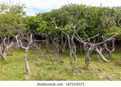 picture of low grown oak trees in the dune landscape of Zeeland, Netherlands