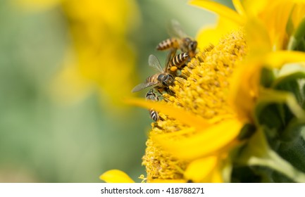 A picture macro of how do bees make honey from sunflower, Thailand.