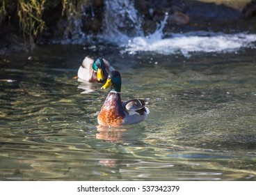 Picture of a mallard duck