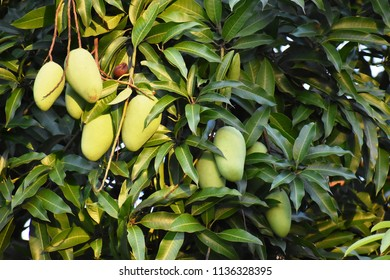 A  picture of mangoe fruits and  tree.