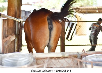 Picture of a mare's (female horse) vulva.Image of brown horse back side fluttering tail in a farm.