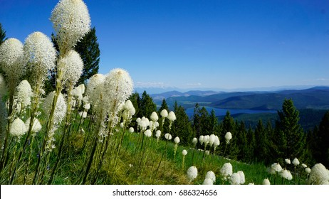A picture of a meadow in the Rocky Mountains covered in Bear Grass, with part of the Flathead valley in view.