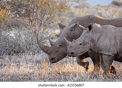 Picture of a mom and baby white rhinoceros in Madikwe game reserve, South Africa.