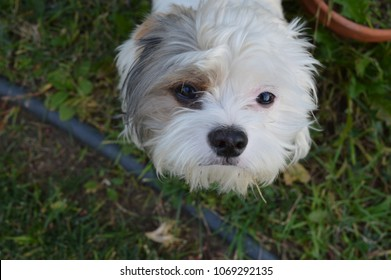 A picture of my dog Monet, a Shih Tzu and Maltese mix, standing in our backyard.