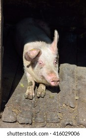 Picture of nose pig inside the piggery standing in the sun. Work on the farm, caring for the animals by farmers. Lights and shadows. Selective focus