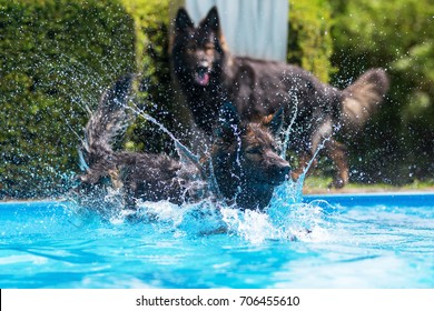 picture of Old German Shepherd dogs who are playing at a swimming pool