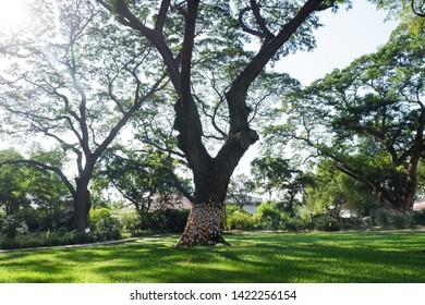 Picture of patio beautiful Frangipani tree stretching comfortably to luxury terrace gazebo - center horizontal image