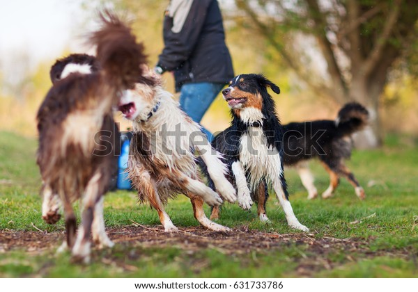 picture of a person playing with four Australian Shepherd outdoors