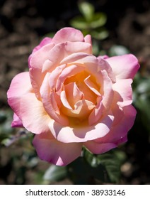 Picture of a pink Hybrid Tea Rose in the Royal Botanical Gardens, Burlington, Ontario, Canada